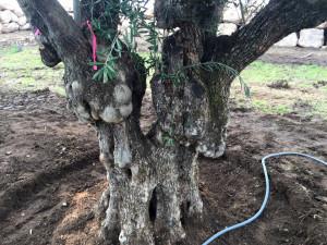 Olive Tree1