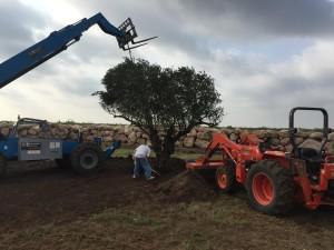 Planting Olive Treee